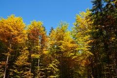 Höstblad mot blå himmel Träd med färgrika blad Arkivfoto