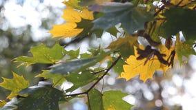 Höstblad på trädet arkivfilmer