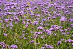 Höstblommor, purpurfärgad Verbenabonariensis Royaltyfria Foton
