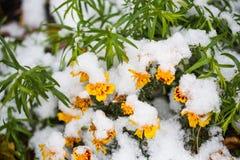 Höstblommor under tidig snö calendula i vinter arkivbild