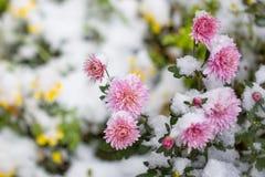 Höstblommor under tidig snö krysantemum i vinter arkivfoto