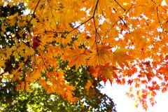 höstbluen colors orange yellow för grön lönn Arkivbilder