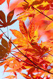 höstbluen colors orange yellow för grön lönn Fotografering för Bildbyråer
