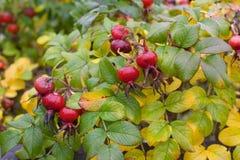 Höstbuske med frukter Nypon Royaltyfri Fotografi