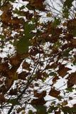 Höstcamoträd Arkivbilder