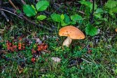 Höstchampinjon i skoggläntan Arkivfoton
