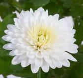 höstchrysanthemumblomman blommar white Royaltyfria Foton