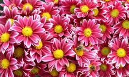 höstchrysanthemumblommor Fotografering för Bildbyråer
