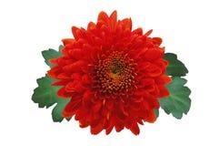höstchrysanthemumred royaltyfri foto