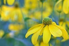 höstconeflowersun Arkivbilder