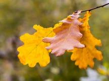 Höstekbladet figurerade gul brunt på en filialnärbild på en suddig skogbakgrund Royaltyfri Fotografi