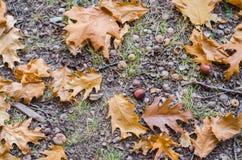 Hösteksidor och ekollonar på jordningen arkivfoton
