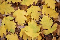 Hösten bakgrund, tapeten, gula hagtornsidor, snidit som är stupade från ett träd, parkerar, går, textur arkivfoto