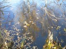 Hösten björkträd reflekteras i vattnet, gula sidor svävar, den gamla stubben royaltyfri foto