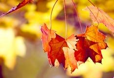 hösten blad sunlit Arkivfoto