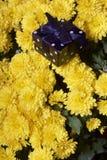 Hösten blommar i en kruka Gul chrysanthemum Därefter är en gåva i en fyrkantig ask arkivbilder