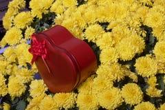 Hösten blommar i en kruka Gul chrysanthemum Därefter är en gåva i en tenn- ask i formen av en hjärta på en grå färgbakgrund arkivbilder