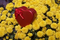 Hösten blommar i en kruka Gul chrysanthemum Därefter är en gåva i en tenn- ask i formen av en hjärta på en grå färgbakgrund royaltyfria foton