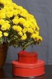 Hösten blommar i en kruka Gul chrysanthemum Nästa gåvor i tenn- askar royaltyfri bild
