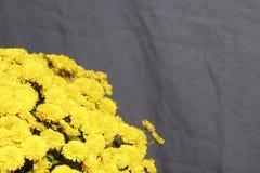 Hösten blommar i en kruka Gul chrysanthemum på en grå färgbakgrund arkivfoton