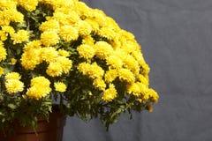 Hösten blommar i en kruka Gul chrysanthemum på en grå färgbakgrund royaltyfri fotografi