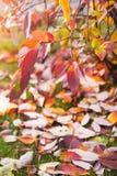 hösten dekorerar det home ideala kontoret för detaljer Ensamt härligt höstligt träd och grönt gräs royaltyfria bilder