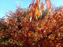 Hösten färgar - röda och gula sidor av päronet Den tidiga hösten är varma och klara, men naturändringsfärger arkivfoto