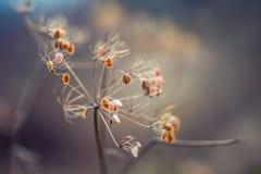 Hösten färgar Torkat - plantera ut körvelskogen i skott för för höstljusfärger och makro Solnedgångängbakgrund Royaltyfri Fotografi