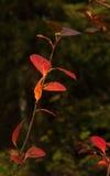 Hösten förgrena sig Royaltyfria Bilder