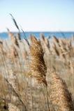 hösten gångna gräshavet kärnar ur till Royaltyfri Foto