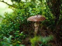 hösten går trän Amanita royaltyfri foto