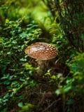hösten går trän Amanita Royaltyfri Bild