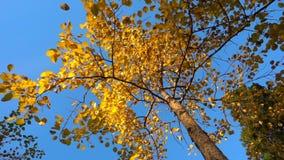 Hösten gulnade sidor faller från ett träd i soligt väder, ultrarapid, den alfabetiska kanalen arkivfilmer