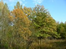 Hösten i skogen på träden faller gula sidor Fotografering för Bildbyråer