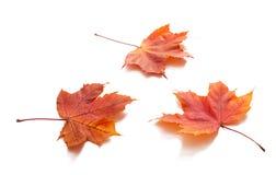hösten isolerade leaves royaltyfri foto