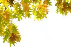hösten isolerade leaves royaltyfria bilder