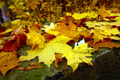 Hösten lämnar Royaltyfri Fotografi