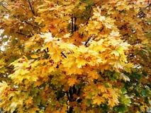 Hösten lämnar Royaltyfria Foton
