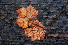 hösten lämnar doppat i en strömma Royaltyfri Foto