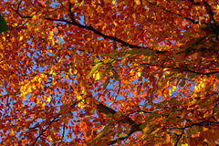Hösten låter vara bakgrund Royaltyfri Foto