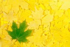 hösten låter vara lönn Royaltyfri Fotografi
