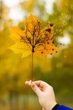 hösten låter vara lönn Arkivfoton