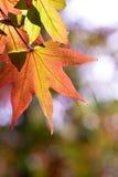 hösten låter vara lönn Arkivbild