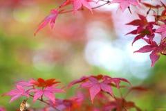 hösten låter vara lönnsolljus arkivbilder