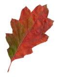 hösten låter vara oaken den röda surface överkanten Royaltyfri Bild