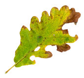 hösten låter vara oaken den sessile surface överkanten Royaltyfri Bild
