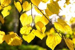 hösten låter vara strålar sunyellow Royaltyfri Fotografi