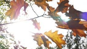 hösten låter vara treen Till och med sidorna solskenen stock video