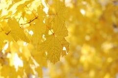 hösten låter vara yellow Fotografering för Bildbyråer