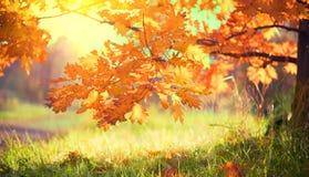 Hösten landskap fall Färgrika sidor på en ek i höstligt parkerar arkivfoto